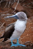 Blue footed Booby bird, Galapagos. Funny blue-footed Booby bird standing on the ground, Seymour Island Royalty Free Stock Photo