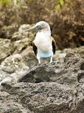 Blue-Footed Booby Bird, Galapagos Stock Photography