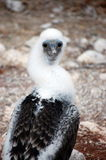Blue-footed Booby chick. Chicken of Blue-footed Booby.Seymour Island,Galapagos Stock Images