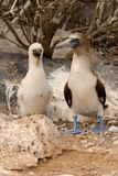Blue Footed Booby and chick Royalty Free Stock Photography