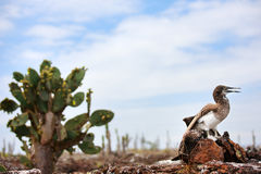 Blue footed booby chick Stock Images