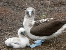 Blue Footed Booby and chick.  royalty free stock photos
