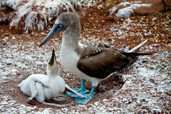 Blue footed booby with chick in the Galapagos Royalty Free Stock Images