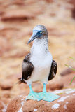 Blue footed booby Royalty Free Stock Photo