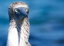 Blue Footed Booby Cross-eyed Stock Images