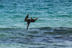 Blue-footed Booby diving in the water Royalty Free Stock Photo
