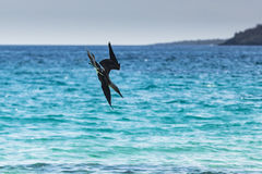 A Blue-footed Booby diving in the water Royalty Free Stock Image