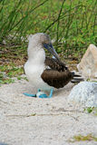Blue Footed Booby with an egg Stock Photos