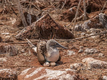 Blue Footed Booby and Eggs Stock Image