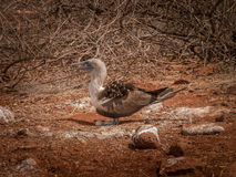 Blue Footed Booby and Eggs Royalty Free Stock Image