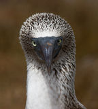 Blue Footed Booby Face Royalty Free Stock Photos
