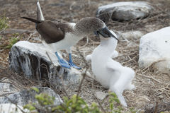 Blue-footed booby. Feeding chick Royalty Free Stock Photo