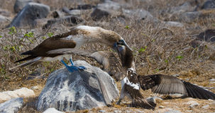 Blue-footed Booby feeding her chick. The Galapagos Islands. Birds. Ecuador. Royalty Free Stock Image