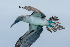 Blue-footed booby in flight, Galapagos islands Royalty Free Stock Photos