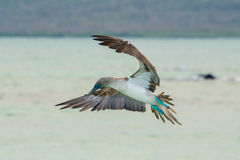 Blue-footed booby in flight, Galapagos islands Stock Images