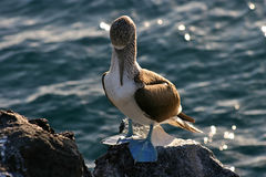 Blue-Footed Booby, Galapagos Stock Image