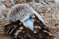 Blue Footed Booby Galapagos stock images