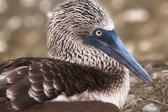 Blue Footed Booby, Galapagos, Ecuador. A blue footed booby brooding eggs Royalty Free Stock Images