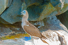 Blue footed Booby in Galapagos, Ecuador. Stock Image