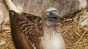 Blue footed booby, Galapagos Island. Bird stock images
