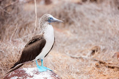 Blue footed booby Royalty Free Stock Image