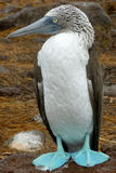 Blue-footed booby. At Galapagos island of Seymur Norte. Ecuador, South America Royalty Free Stock Photography
