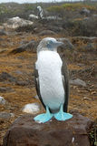 Blue-footed booby. At Galapagos island of Seymur Norte. Ecuador, South America Royalty Free Stock Photo