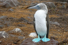 Blue-footed booby. At Galapagos island of Seymur Norte. Ecuador, South America Royalty Free Stock Photos