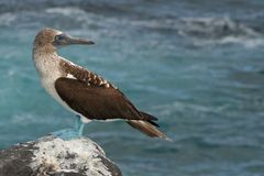 Blue-footed booby, Galapagos Islands Royalty Free Stock Photography