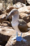 Blue Footed Booby - Galapagos Islands Royalty Free Stock Images