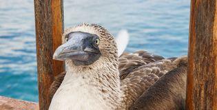 Blue footed booby, Galapagos Islands. Stare stock photo