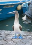 Blue Footed Booby, Galapagos Islands, Ecuador stock image