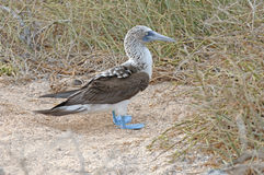 Blue Footed Booby, Galapagos Islands Royalty Free Stock Image