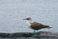 Blue-footed Booby, Galapagos islands, Ecuador Royalty Free Stock Photography