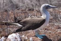 Blue Footed Booby. A blue footed booby on the Galapagos Islands, a species studied extensively by Charles Darwin royalty free stock image