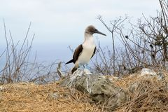 Blue footed booby in Galapagos islands Stock Photography