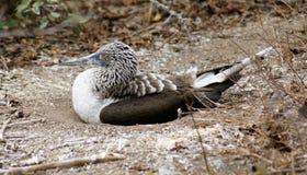 Blue Footed Booby, Isla de la Plata, Ecuador. La Plata island is home for rare colored birds, blue-footed boodies Stock Photos