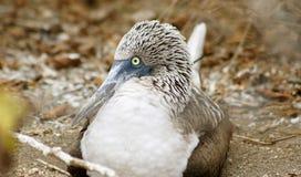 Blue Footed Booby, Isla de la Plata, Ecuador. La Plata island is home for rare colored birds, blue-footed boodies Royalty Free Stock Photos