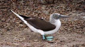 Blue Footed Booby, Isla de la Plata, Ecuador. La Plata island is home for rare colored birds, blue-footed boodies Stock Photo