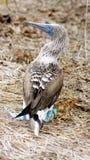 Blue Footed Booby, Isla de la Plata, Ecuador. La Plata island is home for rare colored birds, blue-footed boodies Royalty Free Stock Images