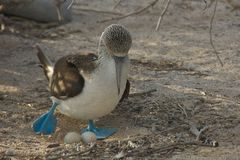 Blue-footed Booby with Its Eggs in Galapagos Islands Stock Photography