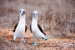 Blue footed booby mating dance. Couple of blue footed boobies performing mating dance stock photography