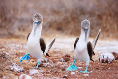 Blue footed booby mating dance. Couple of blue footed boobies performing mating dance royalty free stock images