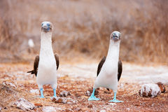 Blue footed booby mating dance Royalty Free Stock Images