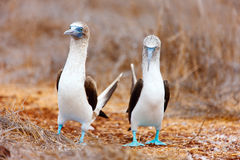 Blue footed booby mating dance Stock Image