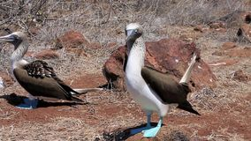 Blue footed booby mating dance stock video