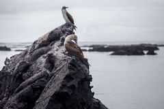 Blue Footed Booby in nature - Galapagos - Ecuador Stock Image
