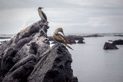 Blue Footed Booby in nature - Galapagos - Ecuador Royalty Free Stock Photography