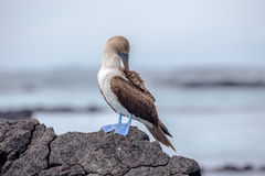 Blue Footed Booby in nature - Galapagos - Ecuador Royalty Free Stock Photos
