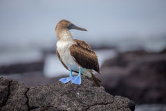 Blue Footed Booby in nature - Galapagos - Ecuador Stock Photography